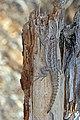 Merrem's Madagascar swift (Oplurus cyclurus) Reniala.jpg