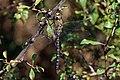 Migrant hawker (Aeshna mixta) male 5.jpg