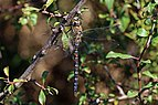 Migrant hawker (Aeshna mixta) male 5.jpg