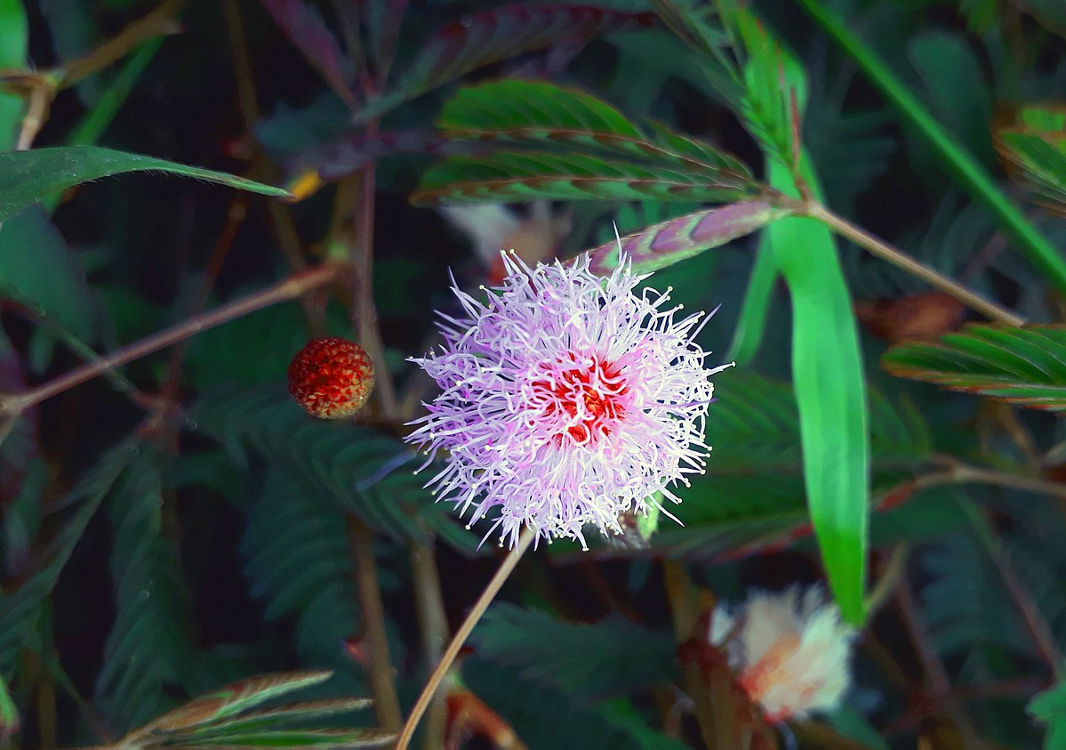 Mimosa Pudica Wikipedia