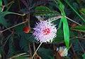 Mimosa pudica Kanya kumari.jpg