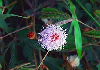 Mimosa pudica - Mimosa pudica showing flower head and leaves