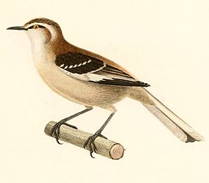 Mimus dorsalis 1847.jpg