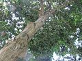 Mimusops elengi (Medlar or Spanish cherry) tree in RDA, Bogra 01.jpg
