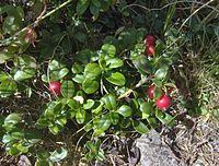 Mirtillo Rosso Cranberry.jpg