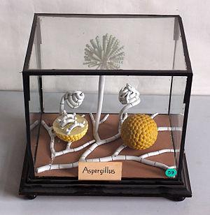 Aspergillus - Historical model of Aspergillus, Botanical Museum Greifswald