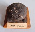 Modell von Tuber Brumale (Trüffel).jpg