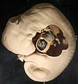 Modellgruppe menschlicher Embryos am Anfang des 2. Entwicklungsmonats (Embryo Blechschmidt; Länge des Embryo 6,3 mm) (3).jpg