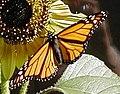 Monarch-PeteNelson-crop.JPG