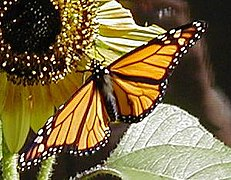 Monarch-PeteNelson-crop.JPG