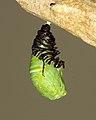 Monarch Transition 2 (3577602872).jpg