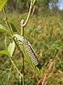 Monarch caterpillar feeding on a swamp milkweed plant (6189022537).jpg