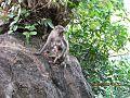 Monkey in araku.jpg