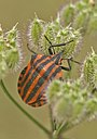 Monstres 87 chinche - monstruos - monsters - Graphosoma lineatum (592955693).jpg