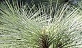 Montezuma Pine - detail (5356642187).jpg