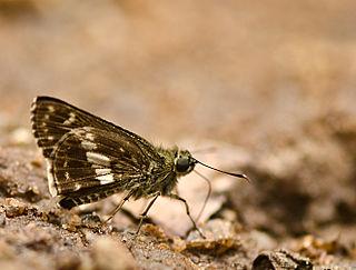 <i>Halpe porus</i> species of insect
