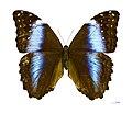 Morpho deidamia deidamia MHNT femelle dos.jpg