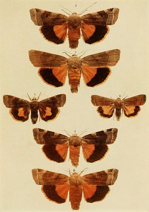 Moths of the British Isles Plate116.jpg