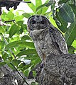 Mottled Wood Owl (48236990481).jpg