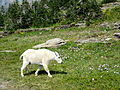 Mountain Goat in Glacier National Park.JPG