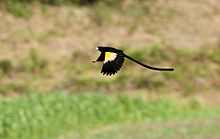 Moutain Marsh Widowbird flying.jpg