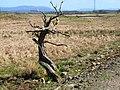 Mrs Johnston's tree near Culvennan Fell - geograph.org.uk - 163206.jpg