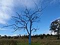 Mt Annan Botanic Garden, Dead Tree - panoramio.jpg