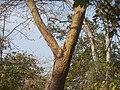 Muchchekarra (Telugu- ముచ్చెకర్ర) (8481020091).jpg
