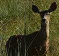 Mule Deer.png