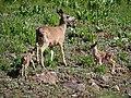 Mule Deer Doe with Pair of Fawns (9401077963).jpg