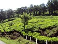 Munnar Tea Plantations - panoramio (1).jpg