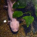 Mus Hist Nat Lille Axolotl 12052013 2.jpg