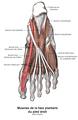 Muscle fléchisseur propre de l'hallux 1.png