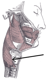 Inferior pharyngeal constrictor muscle
