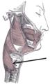 Musculusconstrictorpharyngisinferior.png