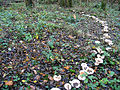 Mushroom Ring in Woodland - geograph.org.uk - 27347.jpg