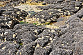 Mussels on rocks at Booby's Bay.jpg