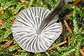 Mycena latifolia2 - lindsey.jpg