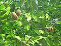 Myristica fragrans-Sri Lanka (1).jpg