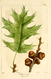 NAS-024f Quercus velutina.png