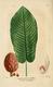 NAS-057 Magnolia macrophylla.png