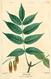 NAS-122 Fraxinus nigra.png