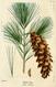 NAS-145 Pinus strobus.png