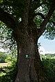 ND466 Eiche CF9A2911.jpg