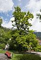 ND 101 11 Stieleiche im Tracklpark Mühlau-Innsbruck 20140508 GOG 9142.jpg