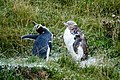 NZ120315 Moulting Penguins Otago 01.jpg