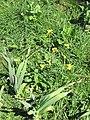 Nabo de pampa (Brassica rapa subsp. oleifera) en cultivo de ajos 01.jpg