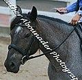 Nakota horse (2692094383).jpg