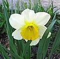 Narcissus sp. (daffodil) (Newark, Ohio, USA) 23.jpg