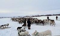 Naryan-Mar reindeer.jpg